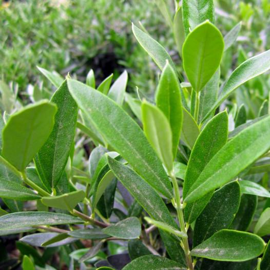 Little Ollie Olive  - Olea europaea Little Ollie