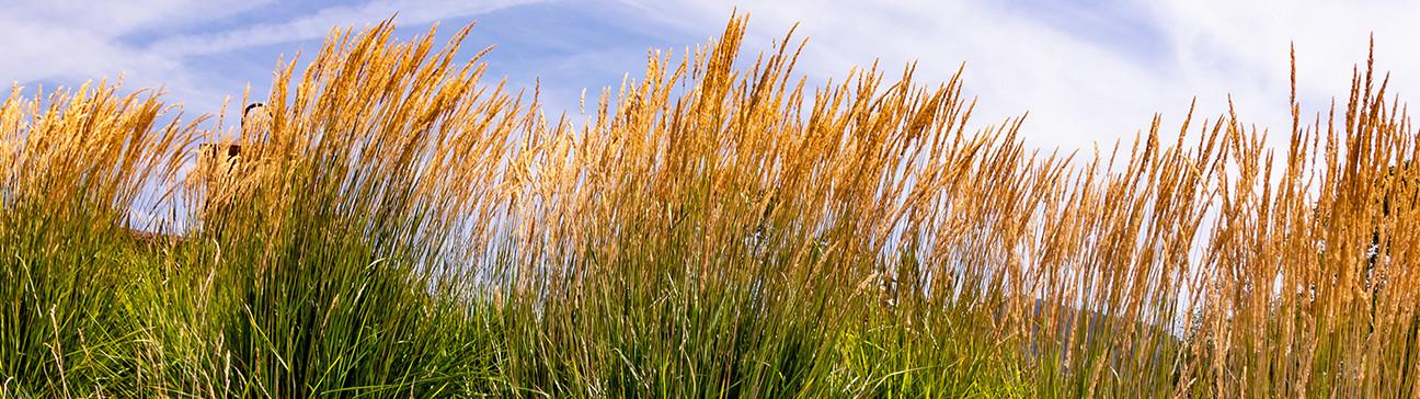Grasses/grasslike