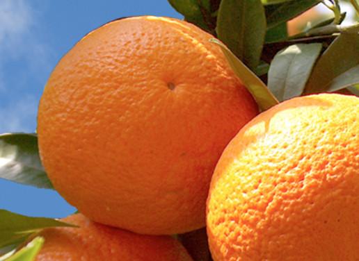 Fruit & Citrus Trees