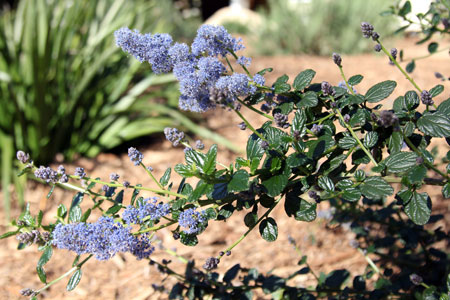 Ceanothus-Yankee-Point-2-small