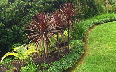 Cordyline-australis-Dark-Star-2-small