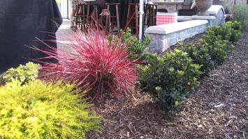 Planting-combo_Coleonemia_Pennisetum_Rhaphiolepis-minor