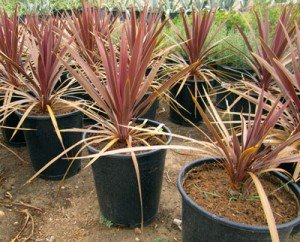 Red-Grass-Palm-3-small
