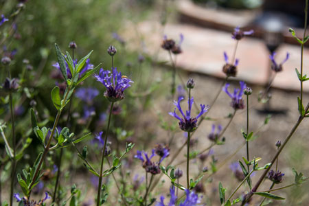 Salvia_clevelandii_Cleveland_Sage_2_small